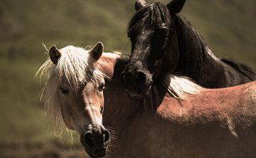 play-horses-853894_960_720