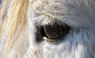 oko-konia-siwego