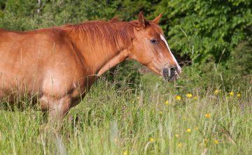 koń-brązowy-pastwisko-trawa