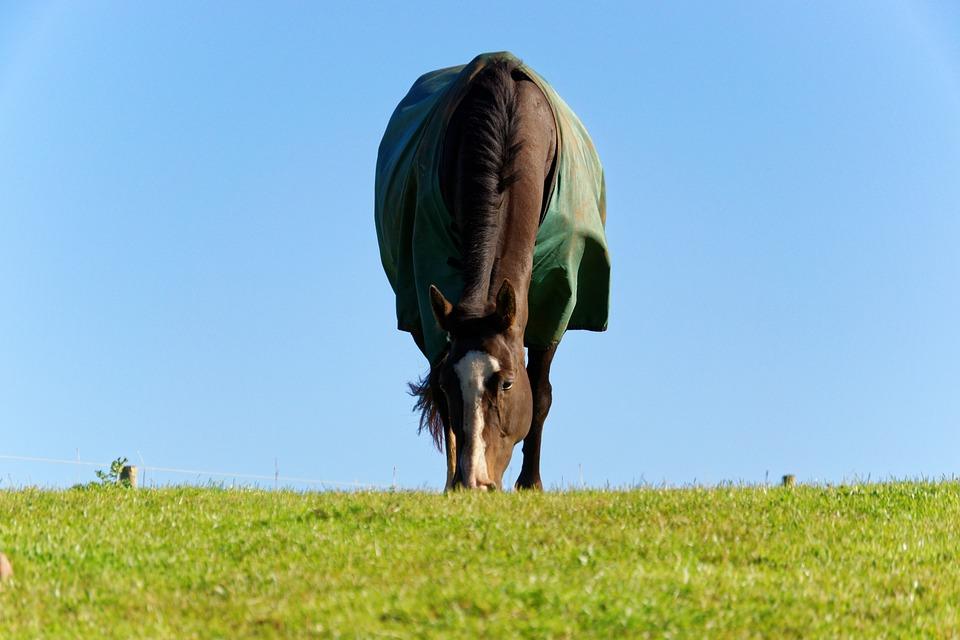 koń-gniady-derka-trawa