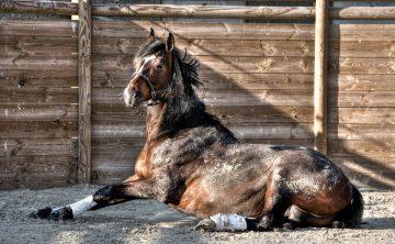 koń-leży-gniady-palisada
