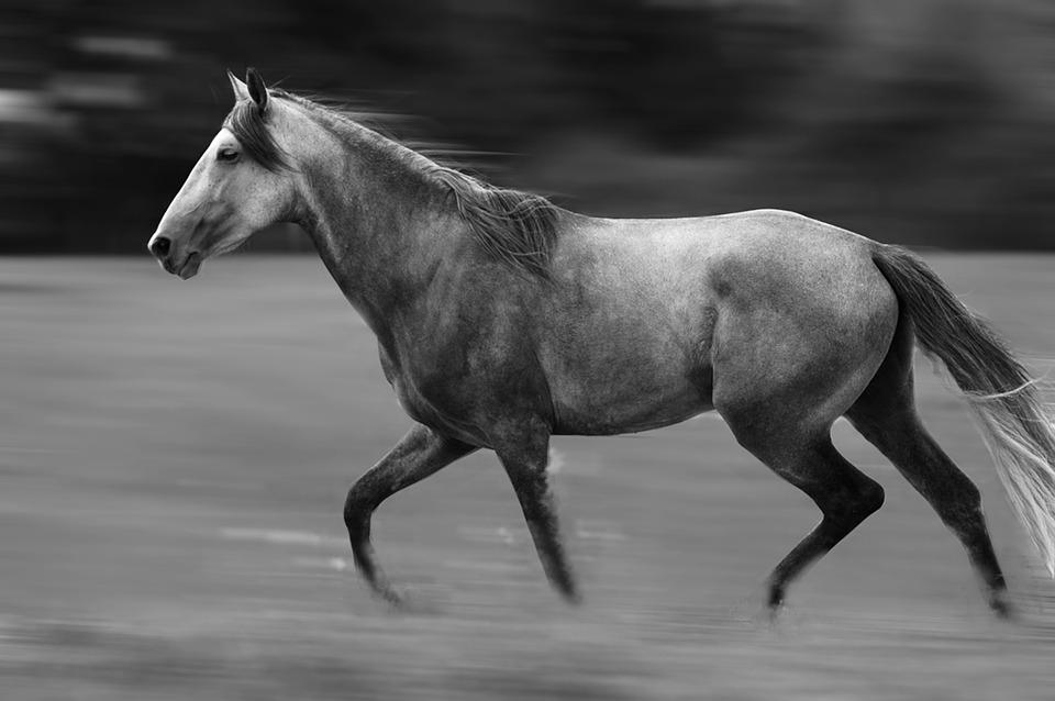koń-andaluzyjski-cały-siwy-czarnobiałe