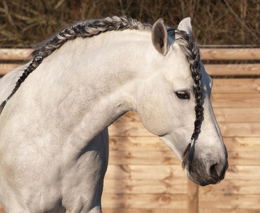 koń-andaluzyjski-głowa-siwy-warkocz