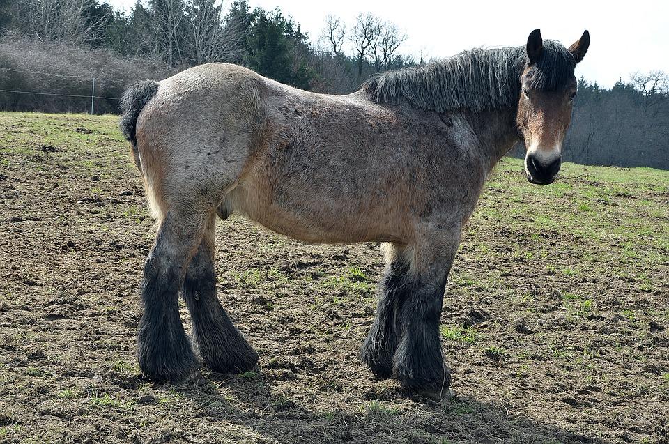 koń-pociągowy-błoto