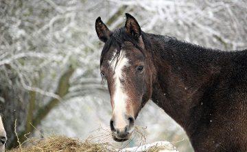 koń-zima-siano-gniady