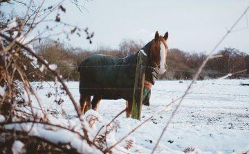 koń-kasztan-zima-śnieg