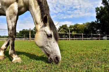 koń_siwy_pastwisko_trawa