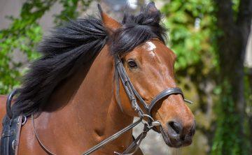 koń-lonża-gniady-wodze-pomocnicze