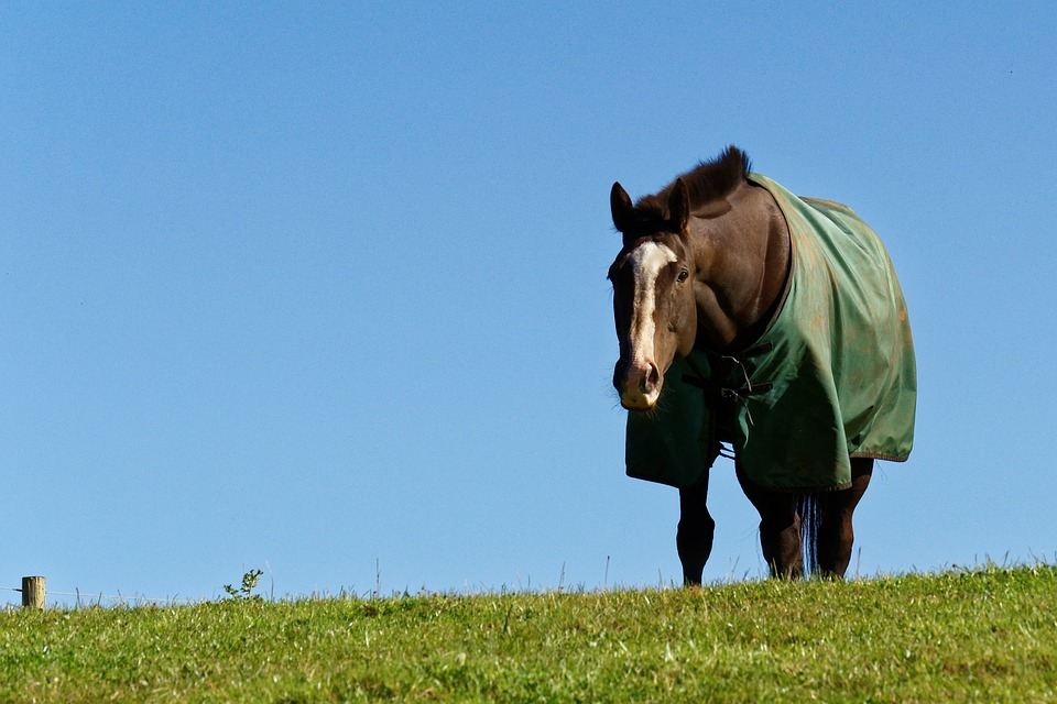 koń-kary-derka-trawa