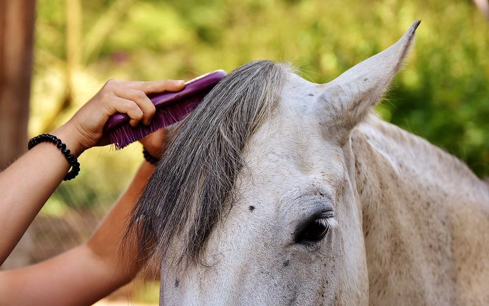 koń-siwy-wyczesaie-grzywy