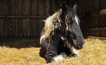 koń-tinker-boks-ściółka