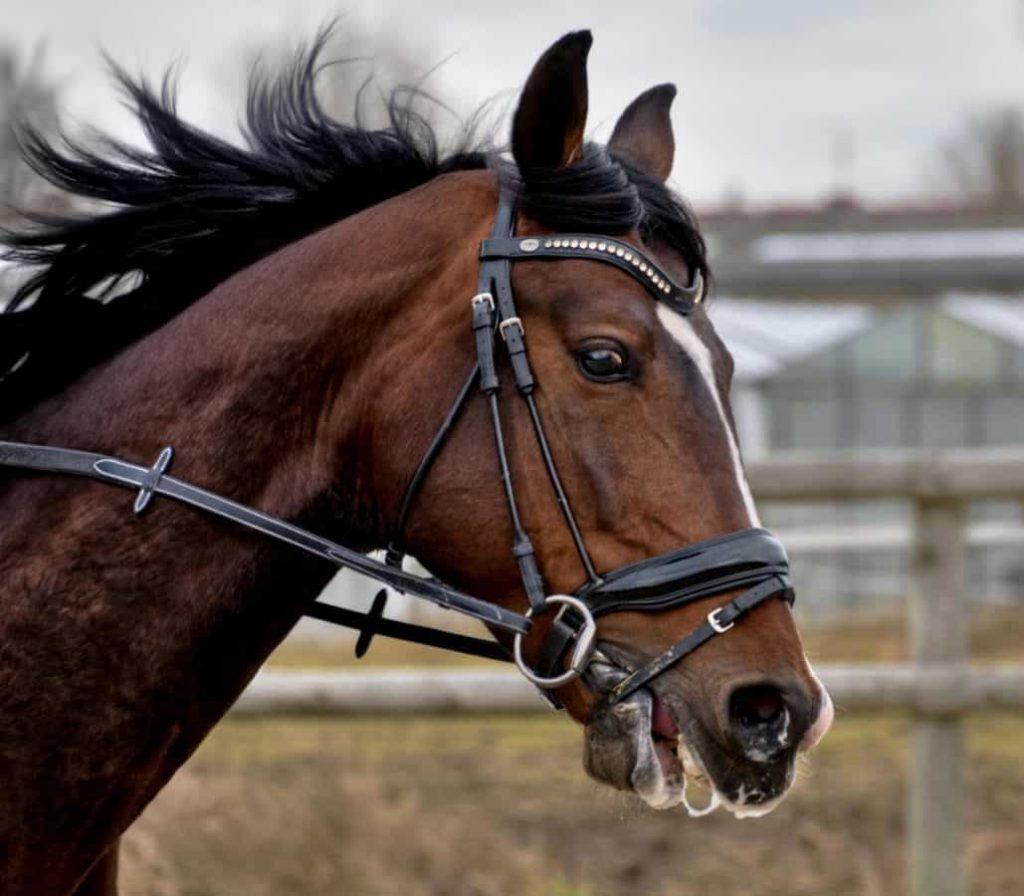 koń-gniady-nachrapnik3