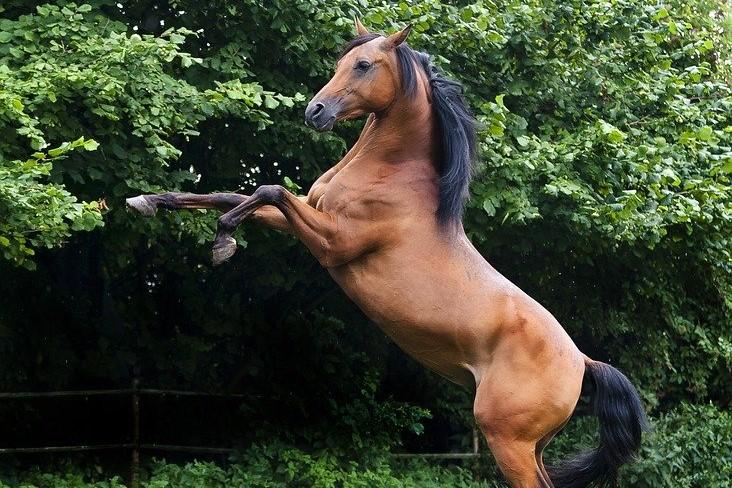 koń-gniady-dęby (2)