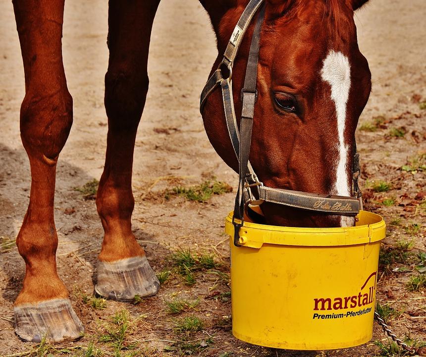 koń-kasztan-wiadro